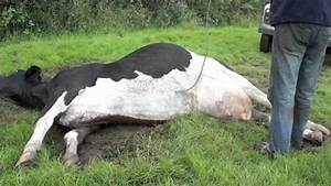 Cow Goes Down With Milk Fever