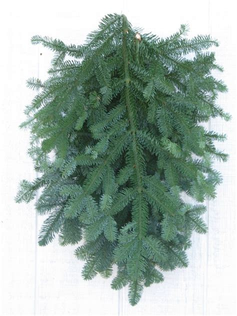 noble fir boughs  cottage gardens