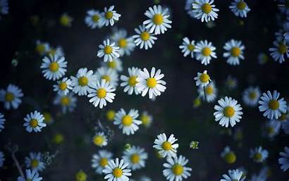 Daisies Daisy Wallpapers Flowers Flower Nature Backgrounds