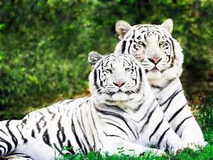 Animal World: Tigres