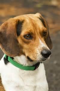 Little Beagle Puppies