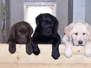 chocolate lab, black lab, white lab | Dog Lover ...