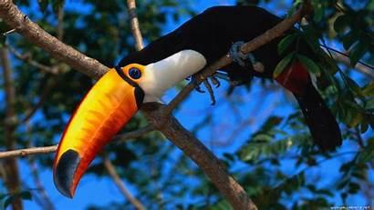 Toucan Birds Pov Animals Trees Parrot Eyes