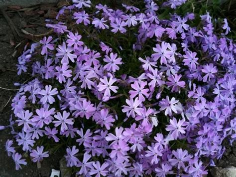 purple flowering perennial ground cover purple creeping phlox hardy in zone 4 perennial ground cover or mounds plant in front of