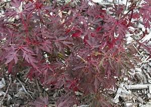 Roter Japanischer Ahorn : acer palmatum red pygmy roter pfeil ahorn japanischer ahorn rotlaubig ~ Frokenaadalensverden.com Haus und Dekorationen