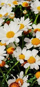 daisies, 4k, wallpaper, , white, flowers, , bloom, , spring, , garden