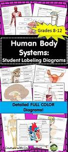 The Human Respiratory System Consists Of The Lungs And