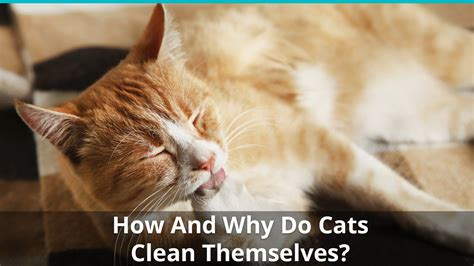 cats clean themselves licking grooming why self bathing biting