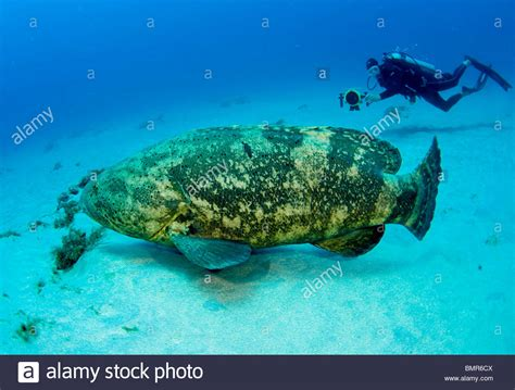 grouper goliath diver scuba endangered epinephelus protected alamy fl itajara shopping cart