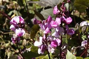 Hyacinth Bean (Lablab purpureus) organically grown flower ...