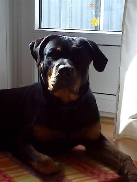 Rottweiler Rüde Sucht Hündin Zum Decken! Deckanzeigen