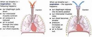 Mechanism Of Breathing  Inspiration  U0026 Expiration