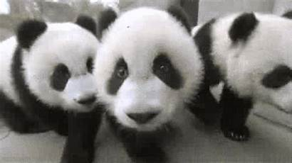 Panda Gifs Cutest Babies Pandas Animals Ever