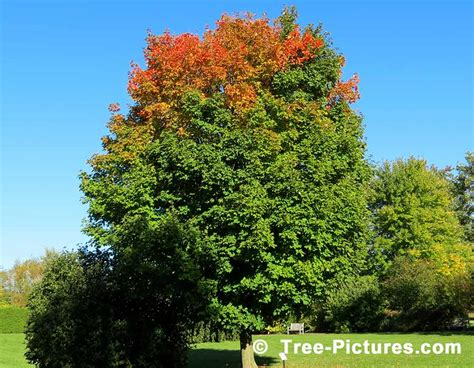types maple trees maple tree pictures images photos facts on maples trees