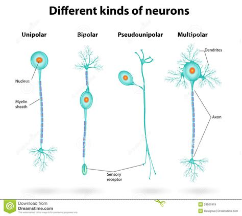 Different Kinds Of by Different Kinds Of Neurons Stock Vector Illustration Of