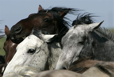wild horses endangered species horse america extinct north west groups mustang act under american protection federal kanada fleisch zartes ap