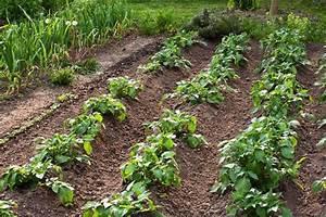 Culture De La Patate Douce : quand et comment butter la pomme de terre ~ Carolinahurricanesstore.com Idées de Décoration