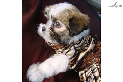 pictures of tea cup non shedding dogs dog breeds picture