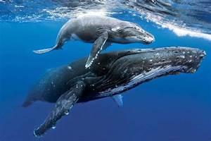 Baby Blue Whales Underwater