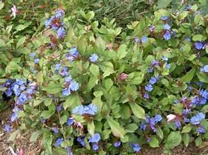 Blau Blühender Bodendecker : blau bl hende str ucher ~ Frokenaadalensverden.com Haus und Dekorationen