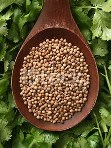 Coriander Seeds and Cilantro Leaves stock photos ...