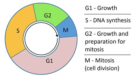 cell cycle phases mitosis regulation