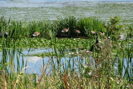 what is a canada goose habitat