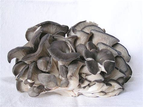 oyster mushroom facts health benefits nutritional