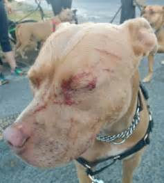 cat attacks pitbull guard cat attacks pit bull leaving and owner