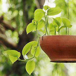 Große Zimmerpflanzen Wenig Licht : zimmerpflanzen standort pflege gie en d ngen ausputzen umtopfen ~ Markanthonyermac.com Haus und Dekorationen