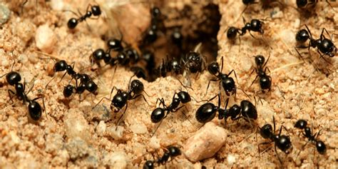 small ants get rid of creepy crawlies around the home using essential oils stay at home mum