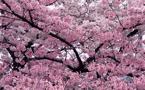 trees in bloom tree in bloom wallpapers hd wallpapers id 6235