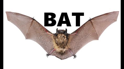 Bat Animals For Children Kids Videos Kindergarten. Photography Colleges In Florida. Master Public Administration Programs. Movie Theater With Recliners Drop Box Ipad. Helping Hands Rehabilitation. Locksmith Lehigh Acres Fl Israeli Army Ranks. Online Master Of Psychology Grain Bin Roof. Urban Planning Degree Programs. 3 Bureaus Credit Report When To Rollover 401k