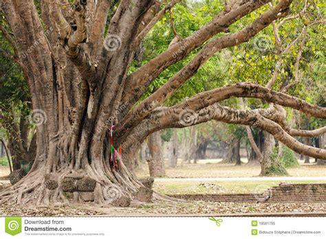large ficus tree big ficus tree stock image image of roots rainforest 3651