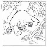 Platypus Coloring Pages Colouring Realistic Animal Designlooter Outline Yahoo 600px 78kb Easy Cartoon sketch template