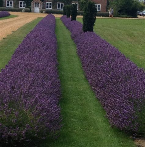 lavender hedge images the gallery for gt hidcote lavender hedge