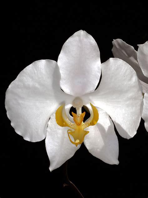 phalaenopsis amabilis subsp amabilis wikispecies