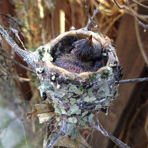 hummingbirds  eggs  nestlings iflscience