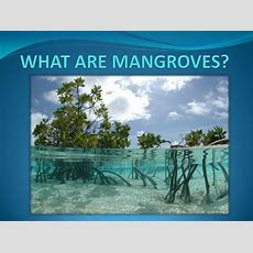 What Are Mangroves?