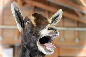 Goat Stock Photos  Pictures  U0026 Royalty-free Images