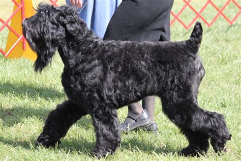 black russian terrier breed information black russian