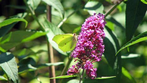 Sträucher Die Im Sommer Blühen schmetterlingsflieder