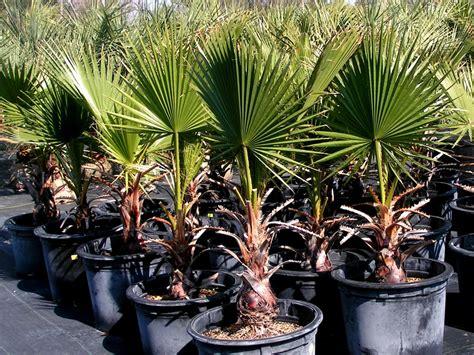 mexican fan palm care plants flowers desert fan palm