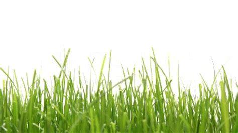 gräser für den garten hoch wachsendes gras sichtschutz shop mit tollen hecken pflanzen jumbogras ziergr ser pflanzen