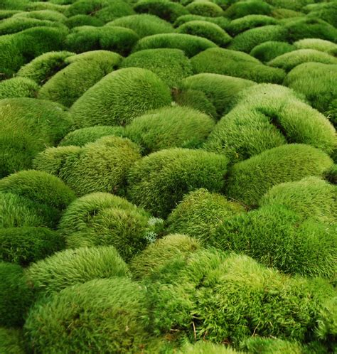 gardening moss mosses and moss gardening with annie martin the compleat naturalist