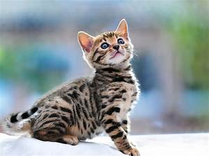 Bengal Cat With beautiful Smile Styli Wallpapers