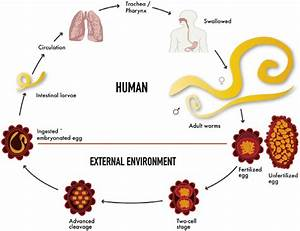 Life Cycle Of Ascaris Lumbricoides Inside And Outside Of