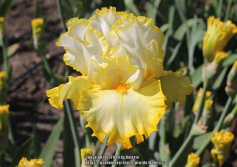 tall bearded iris iris   butter