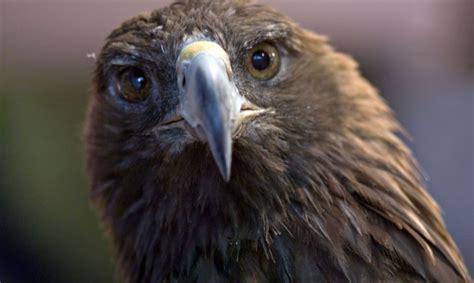 Krievijas ornitologus gandrīz izputina migrējošo ērgļu ...