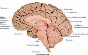 Brain Anatomy Quiz Label